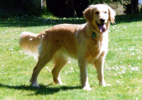 Lulu Golden Retriever - Tracktown Goldens