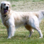 Max Golden Retriever - Tracktown Goldens
