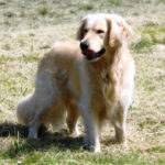 Tripolli Golden Retriever - Tracktown Goldens